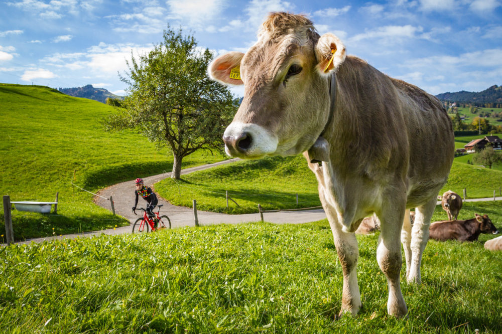 One male cyclist riding past a cow